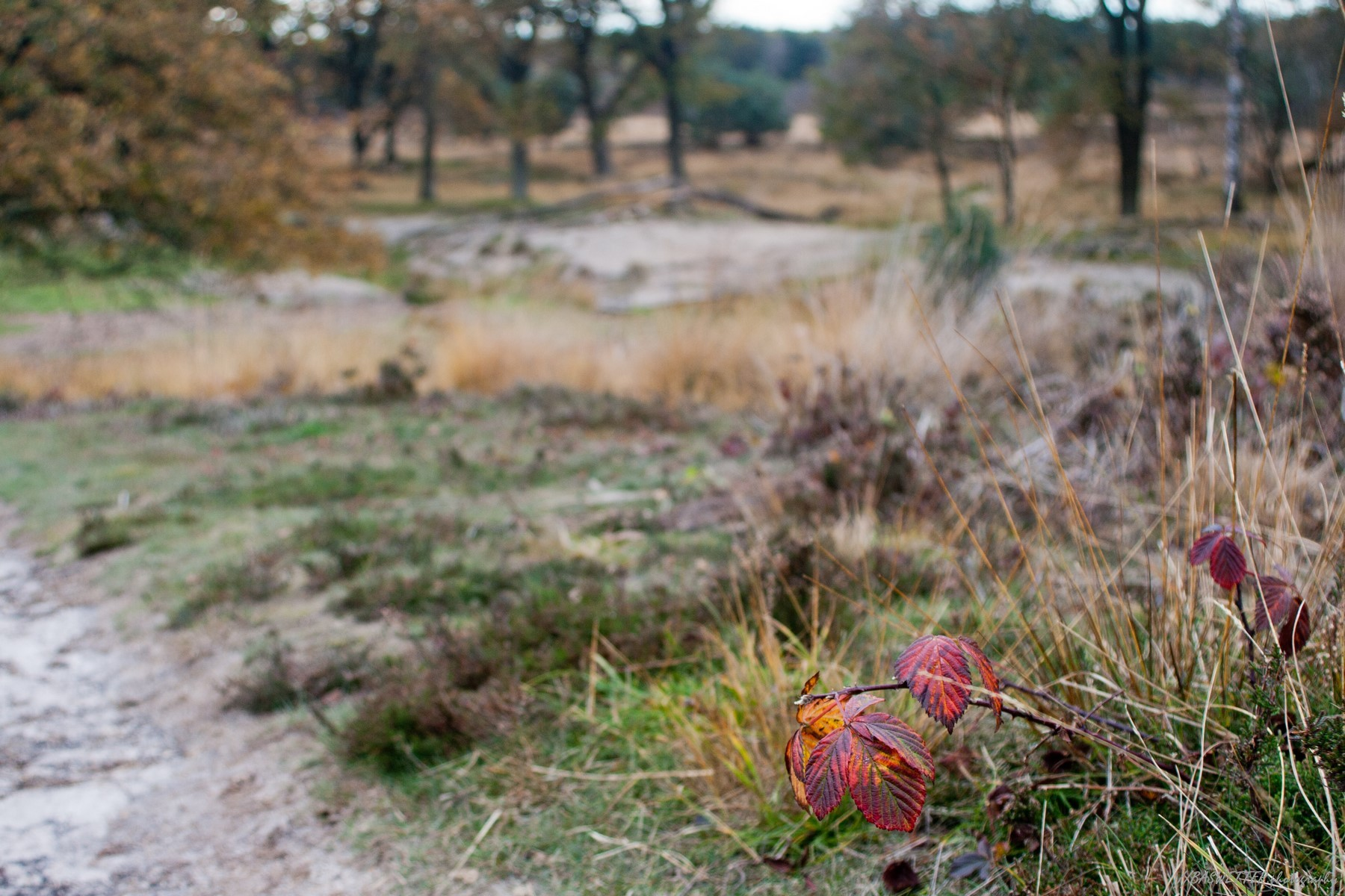 Rode herfstbladeren van een framboos in een herfstlandschap op de Wolfhezerheide