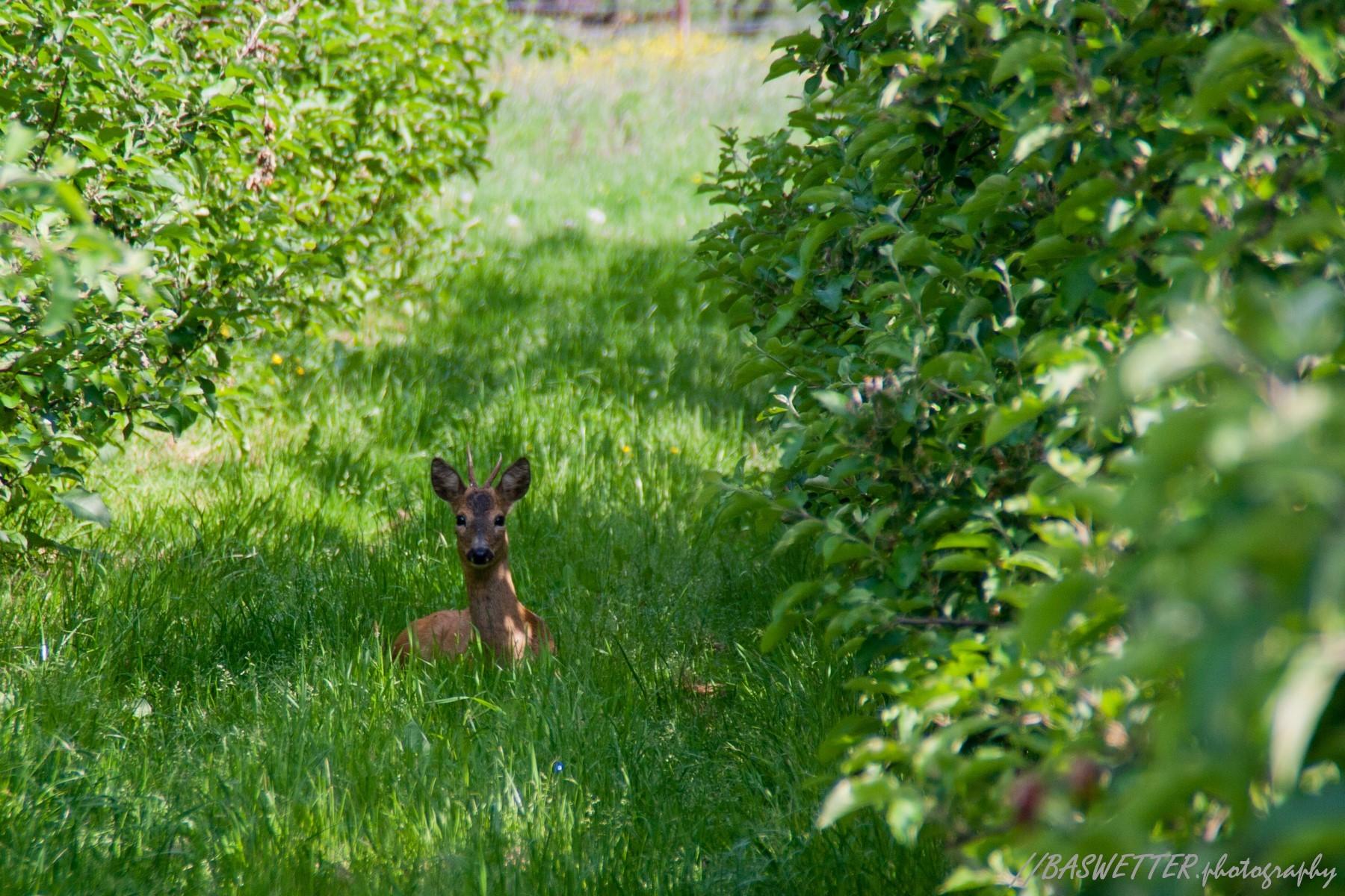 Jonge reebok in Zuid-Limburgse boomgaard