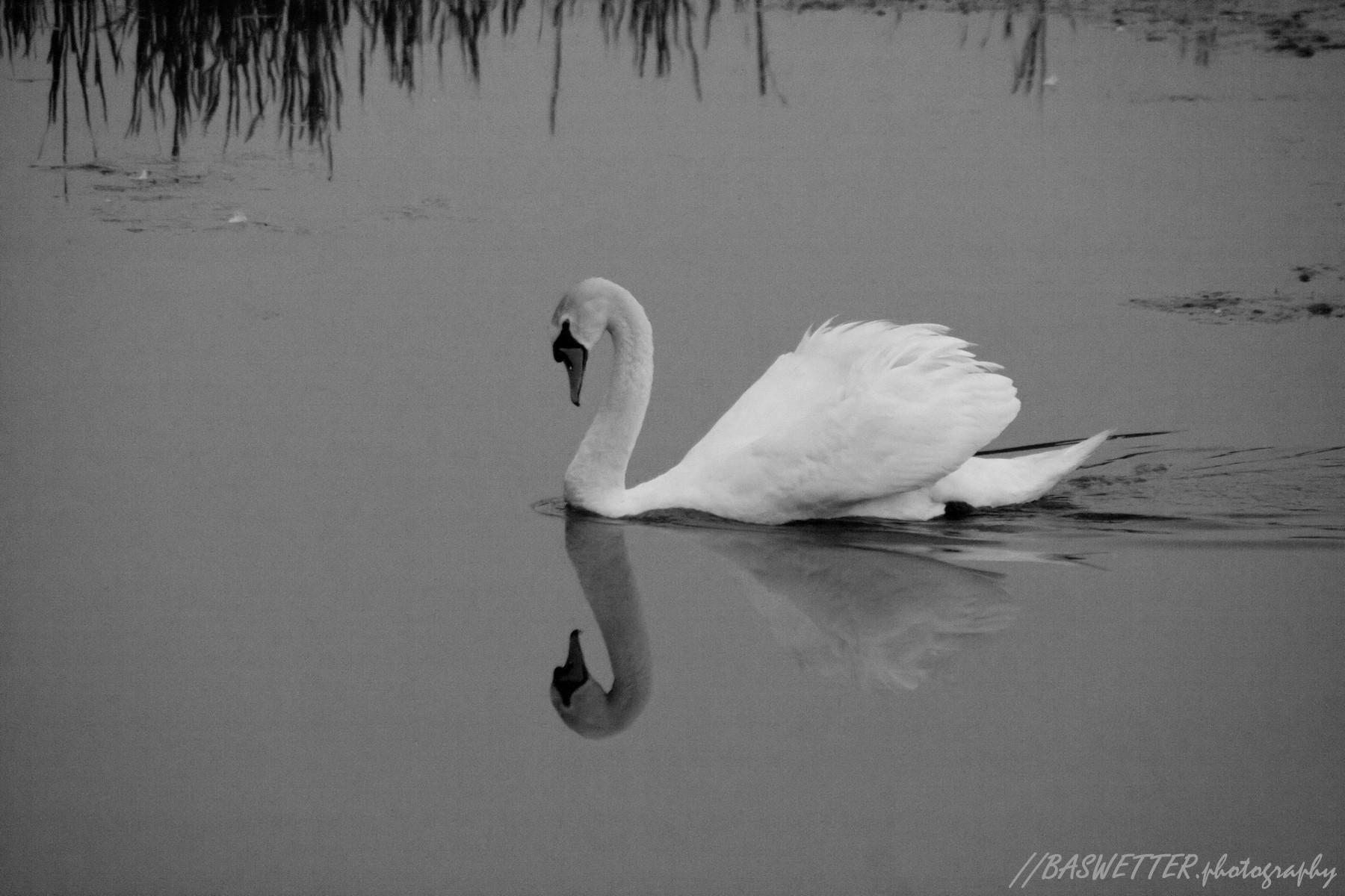 Zwaan met reflectie in het water