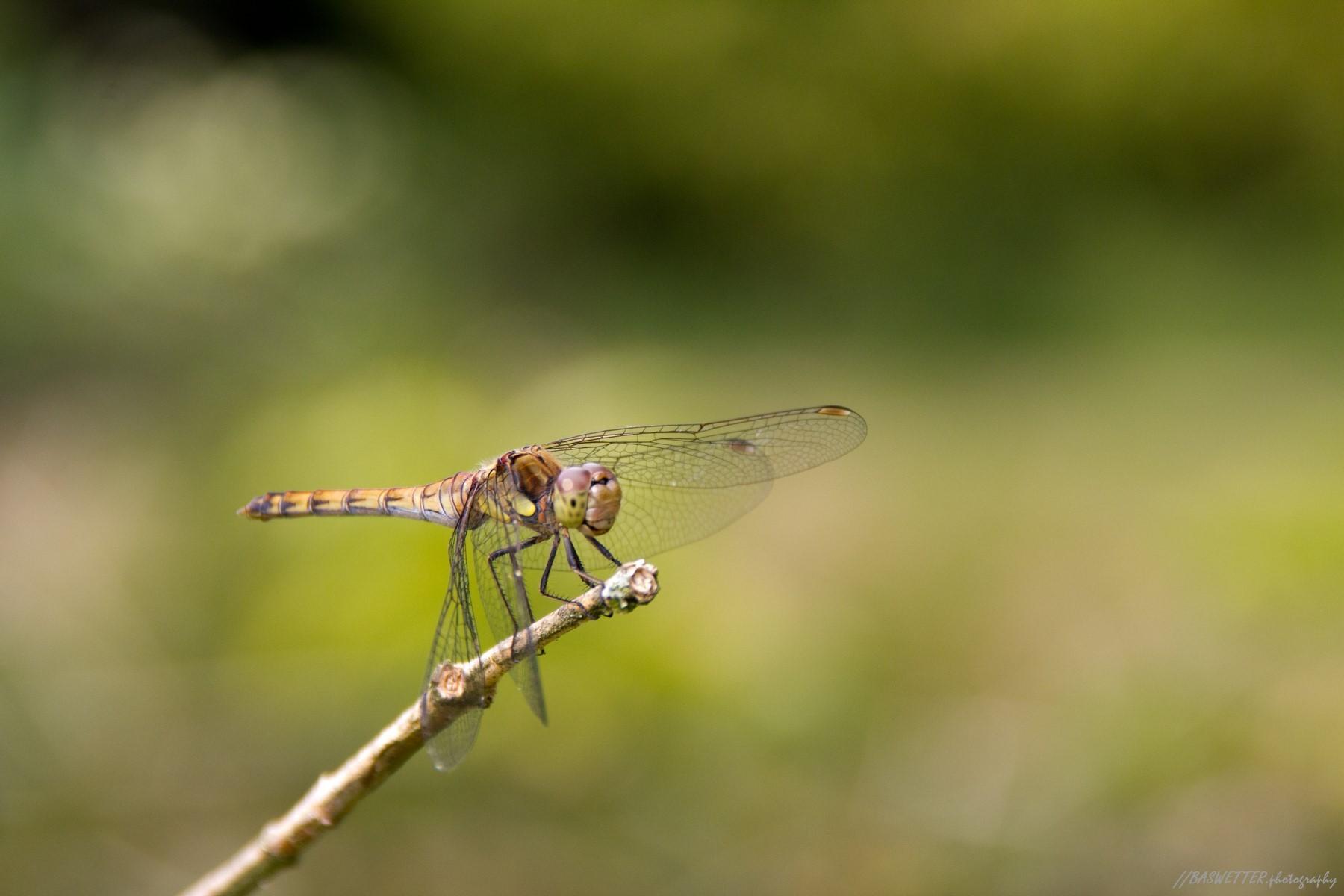 Libelle op een takje