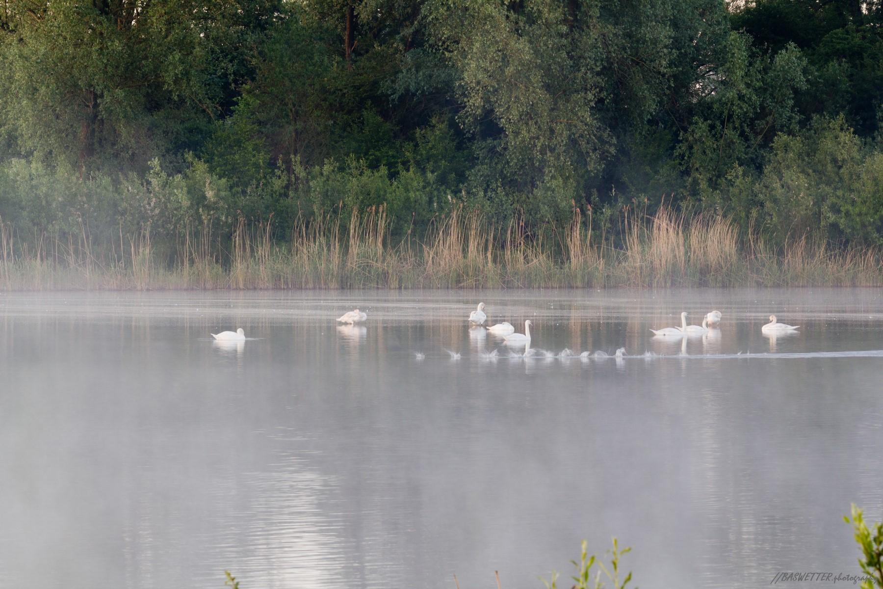 Zwanen in de ochtendnevel en een onzichtbare meerkoet
