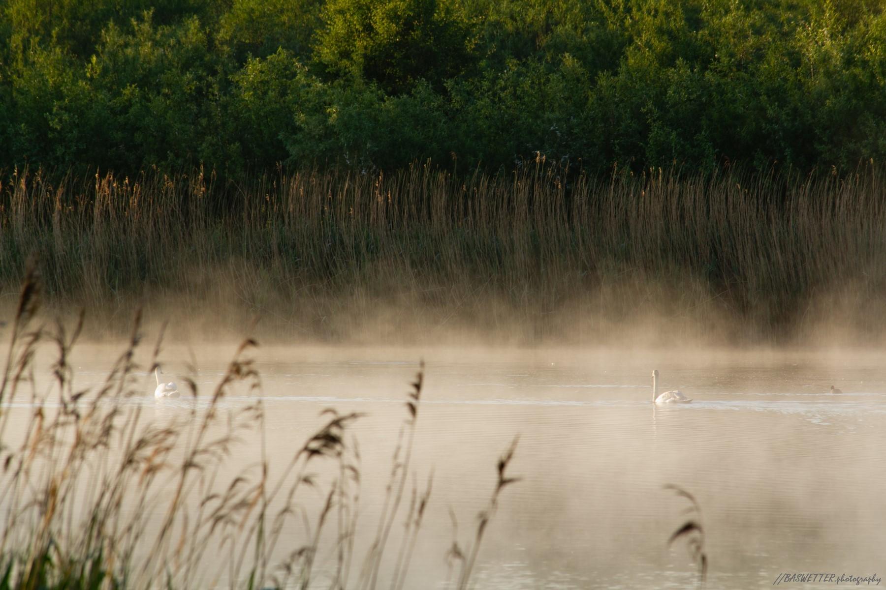 Zwanen zwemmen door de nevel in de ochtend zon