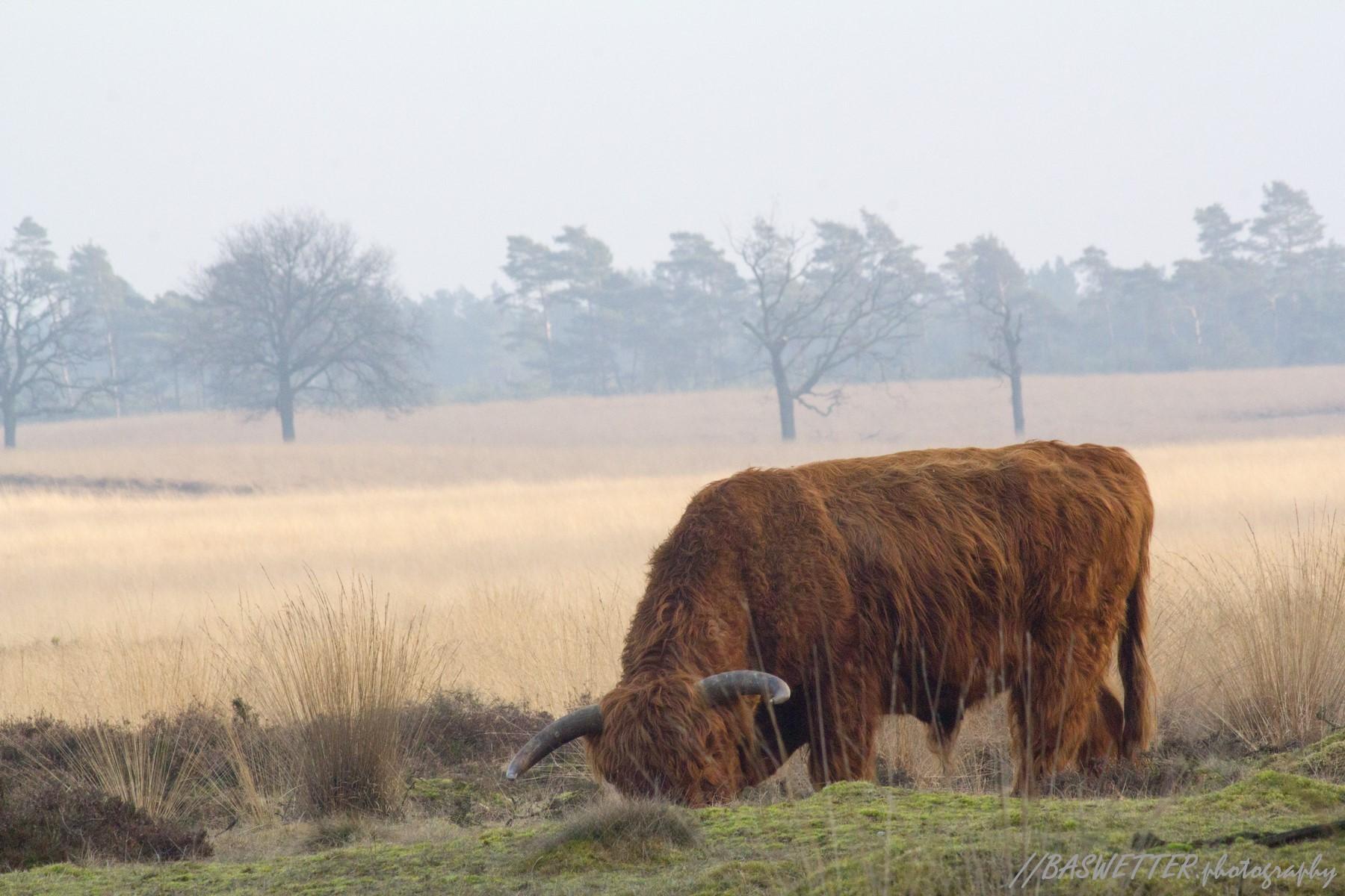 Schotse Hooglander op de Veluwe