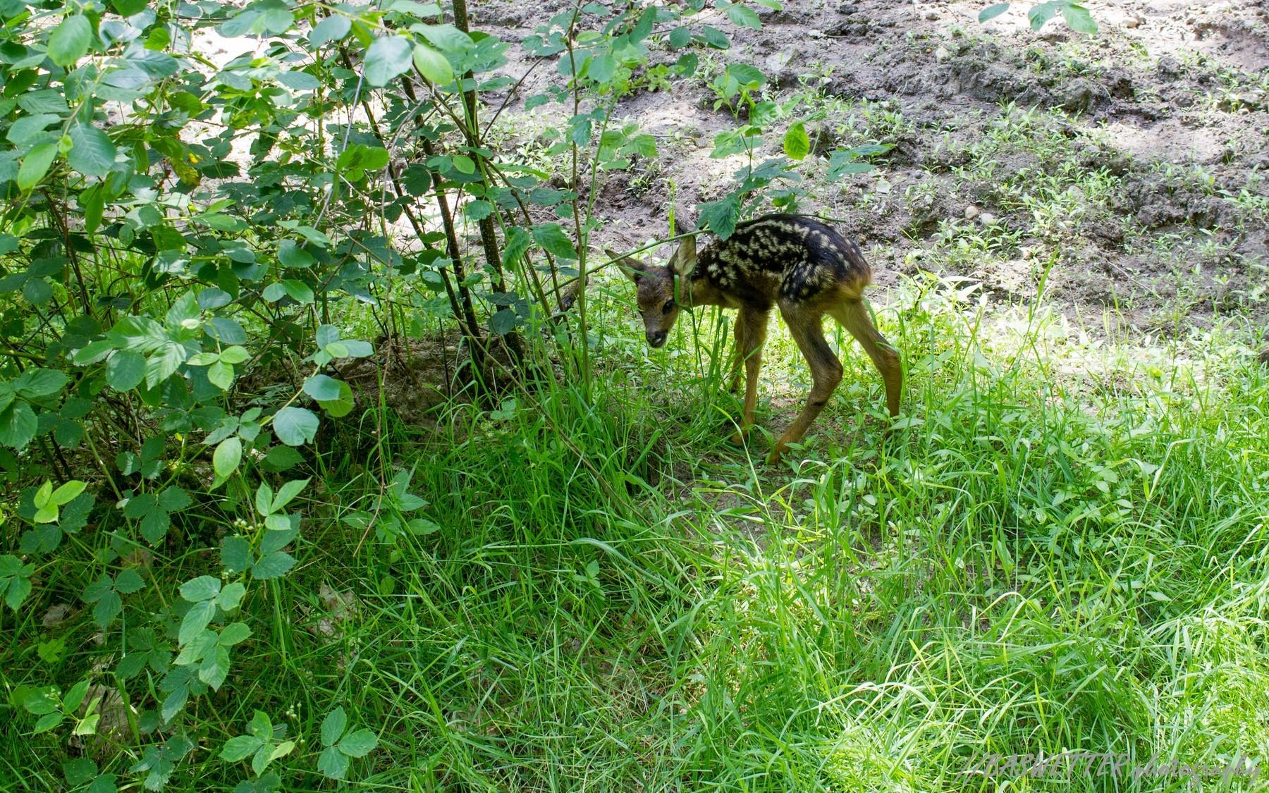 Bambi op het Pieterpad