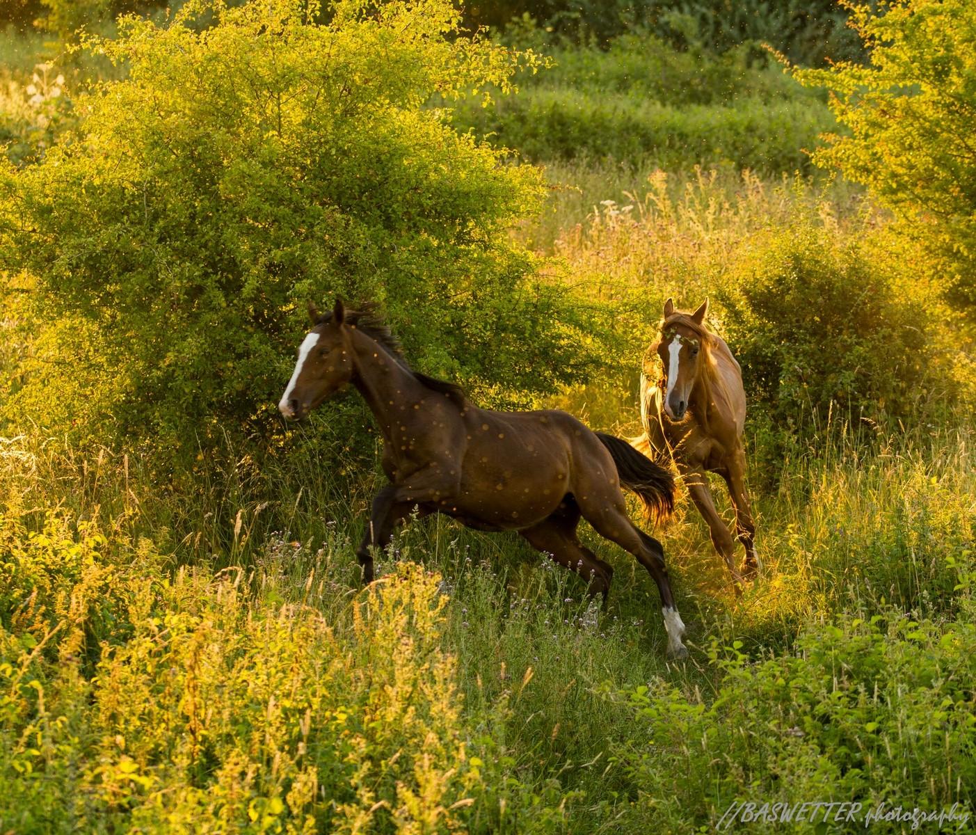 Galopperende paarden in de avondzon