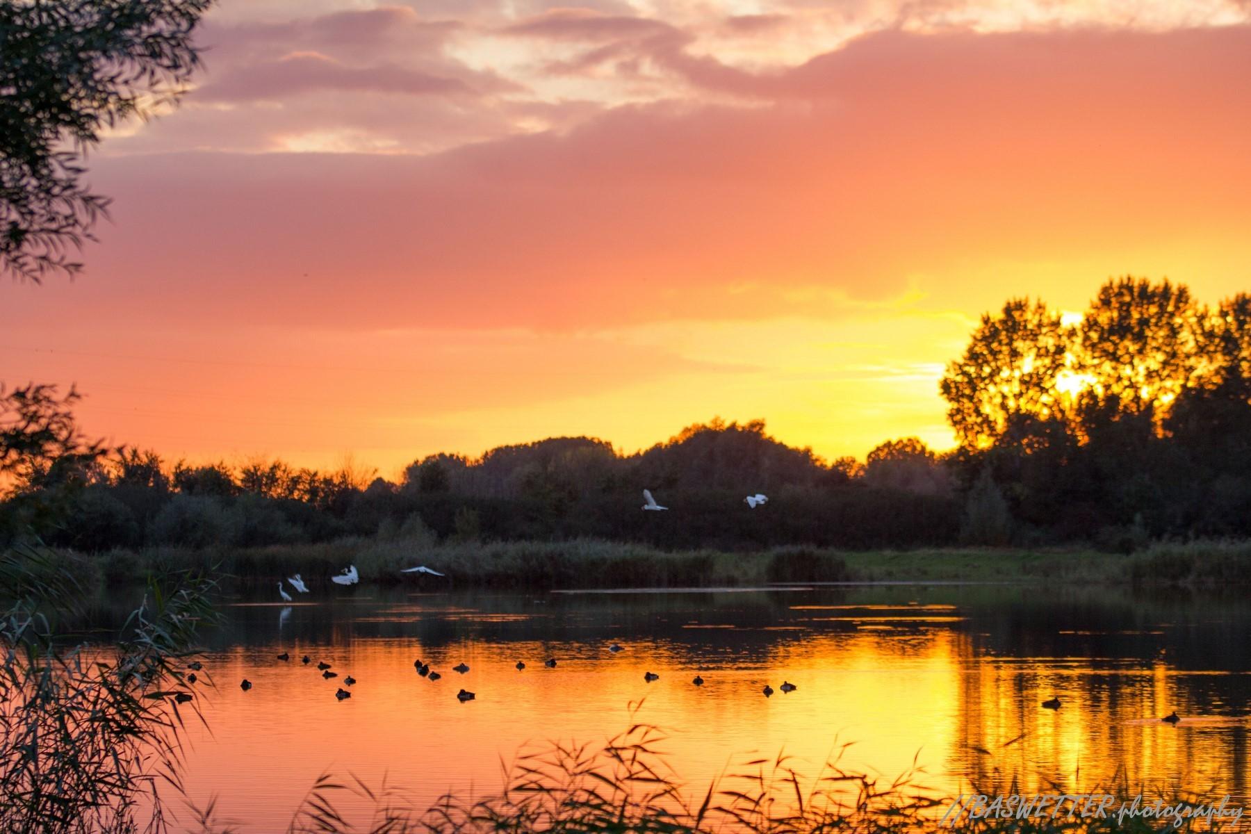 Grote zilverreiger landt tijdens zonsondergang in de uiterwaarden