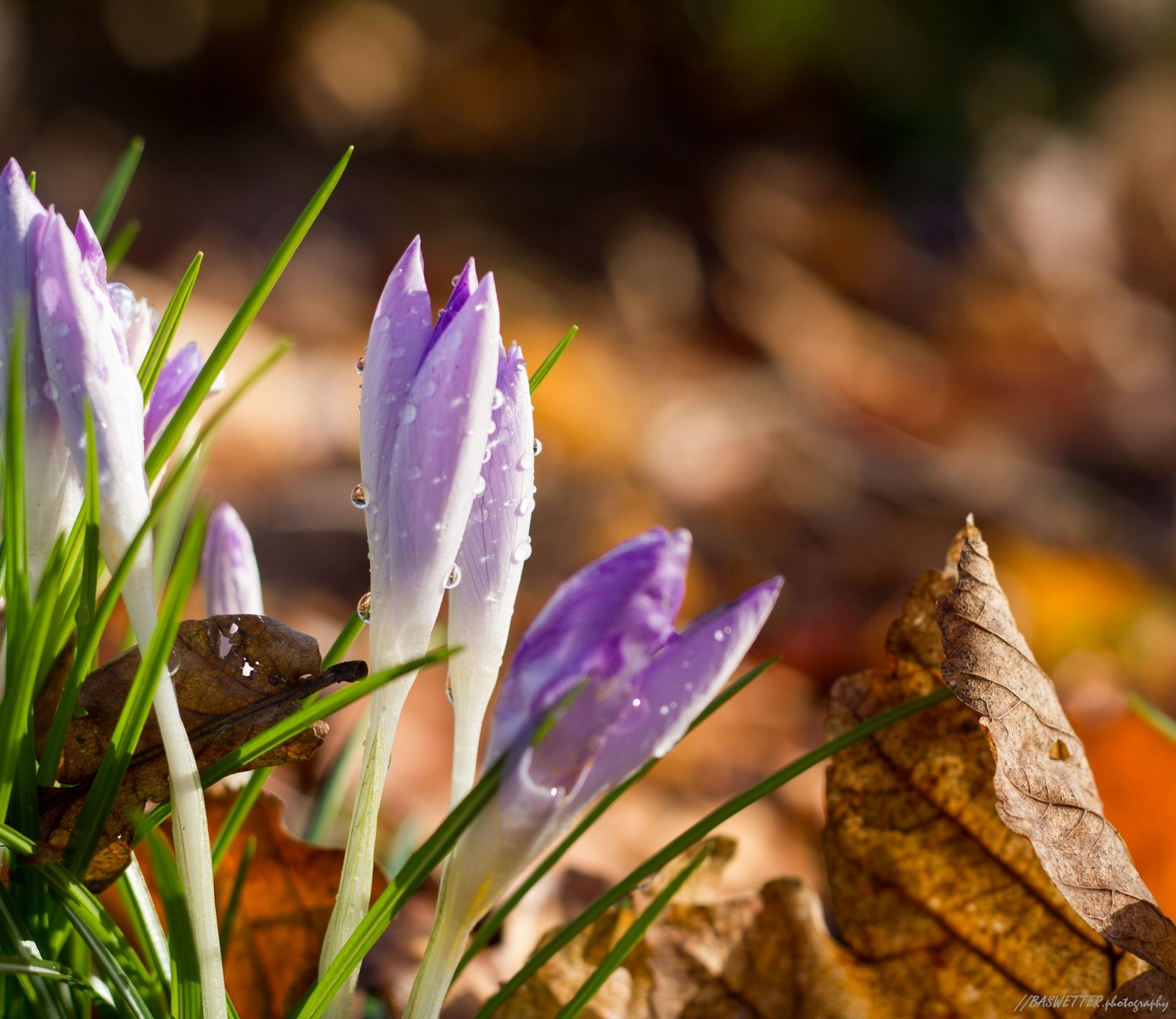 Crocussen komen uit in de lentezon