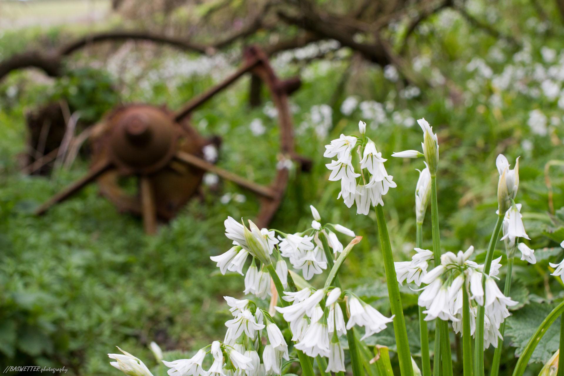 Bloemen en oud ijzer vlakbij Lizard Point