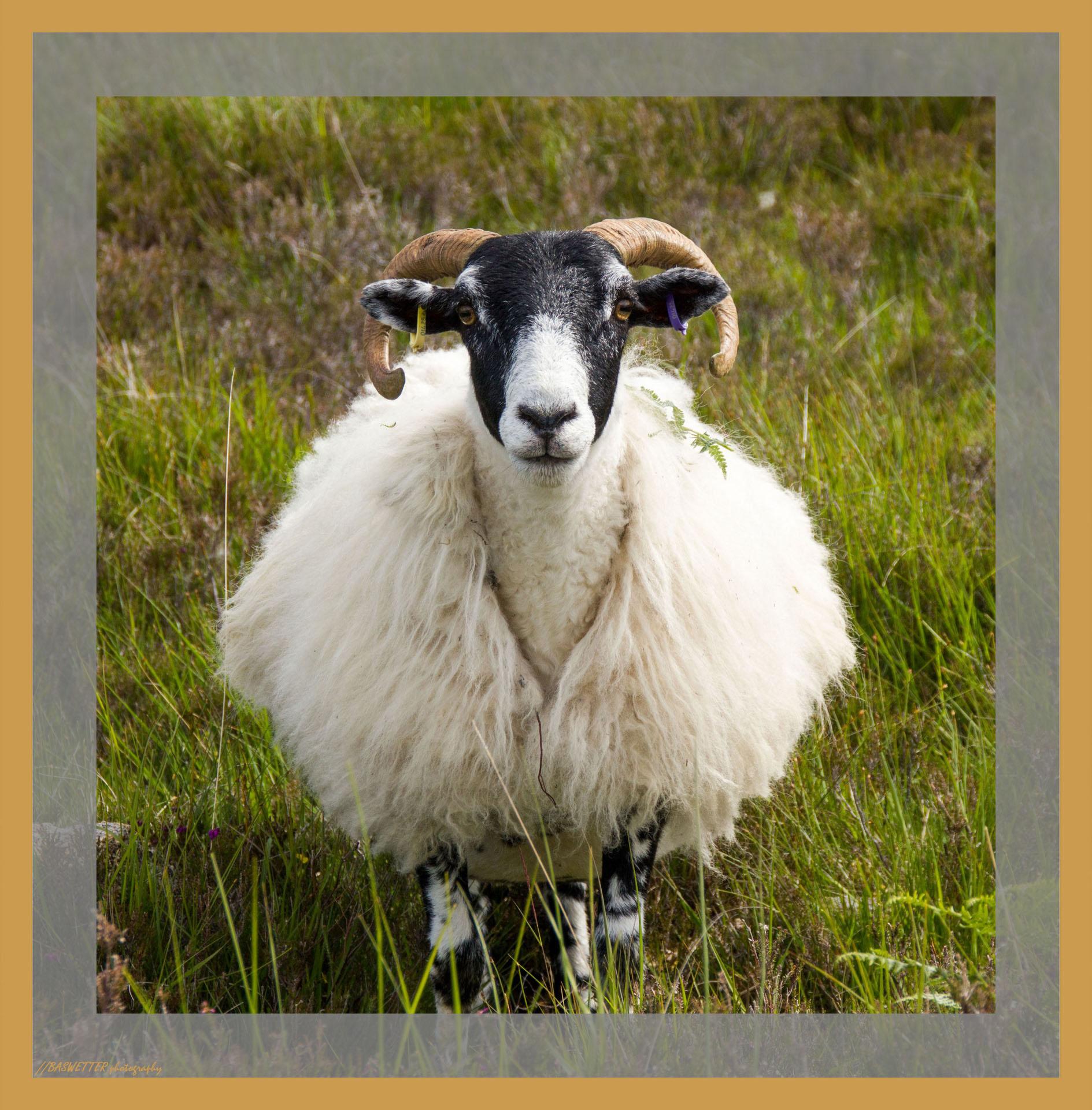 Schaap op Raasay bij Isle of Skye
