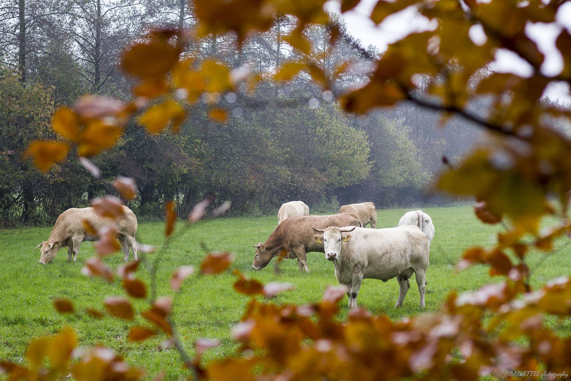 Koeien tussen herfst beukbladeren door