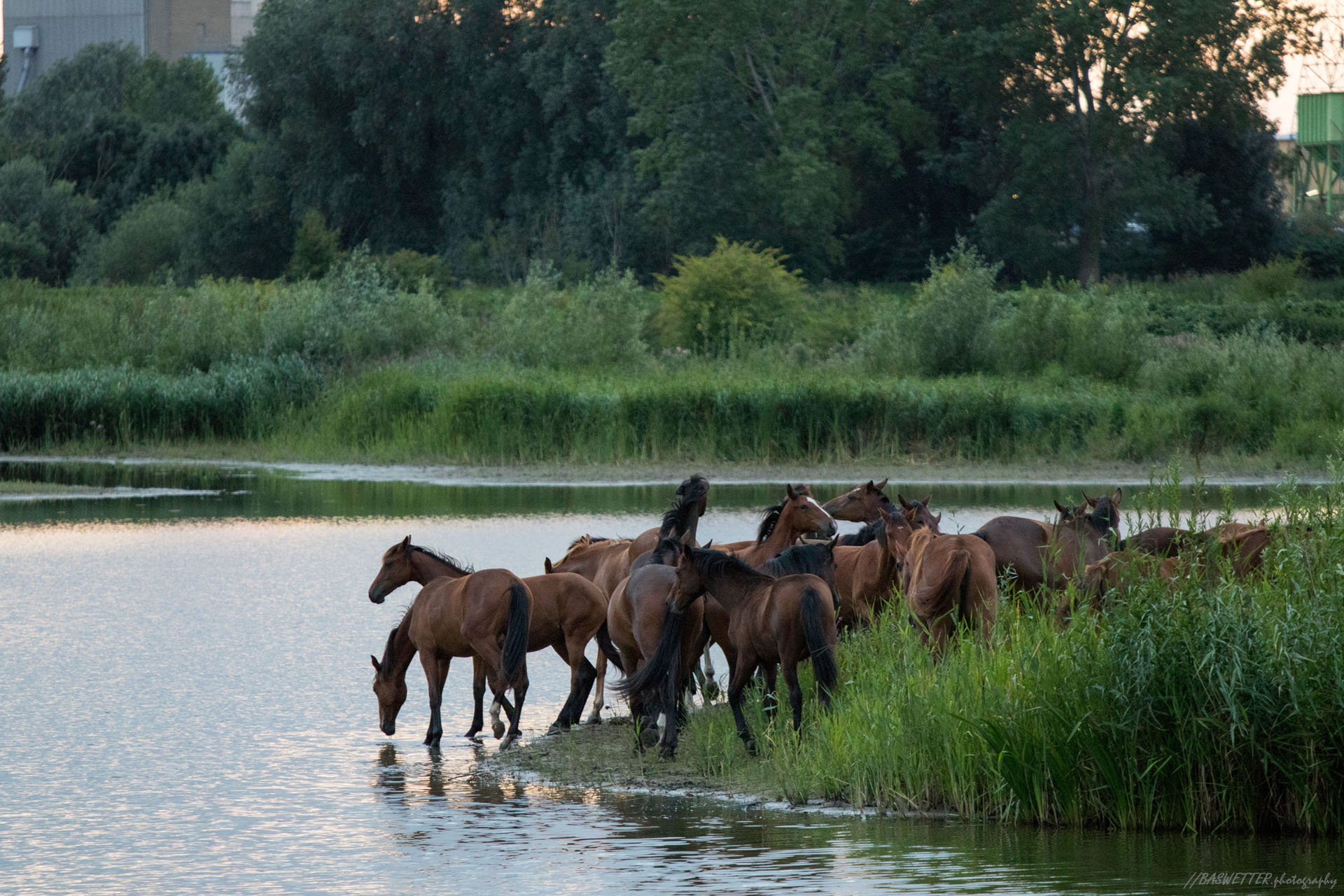 Paarden in de uiterwaarden verzamelen om te drinken